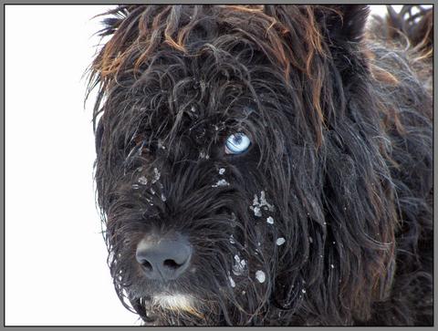 perro-trineo
