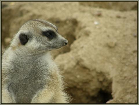 fotos-suricatas