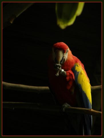 papagayos-fotos