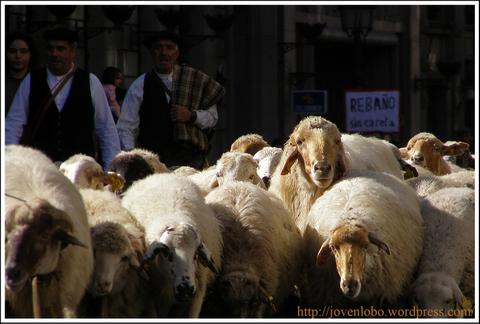 ovejas-madrid-trashumancia