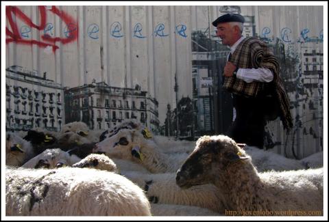 ovejas-pastor-trashumancia