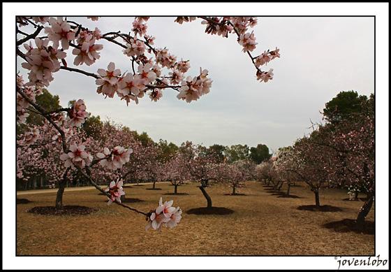 almendro-en-flor-madrid