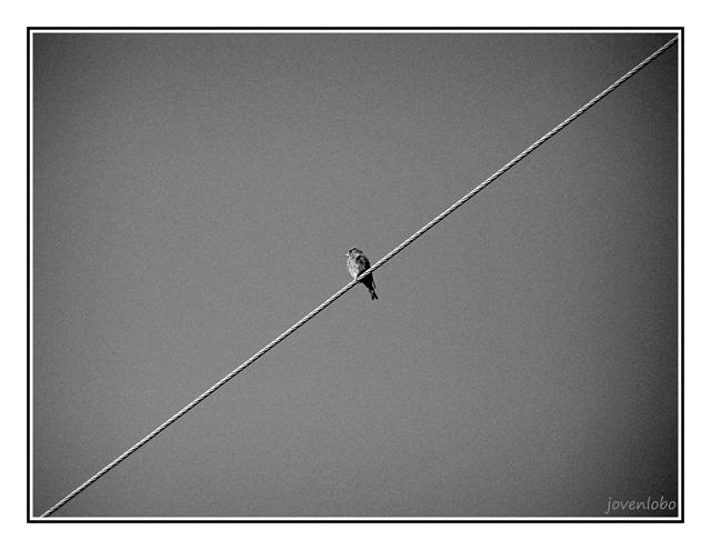 Pajaro-en-cable