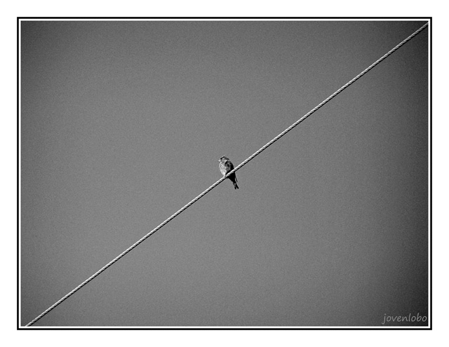 Pajaro-en-cable
