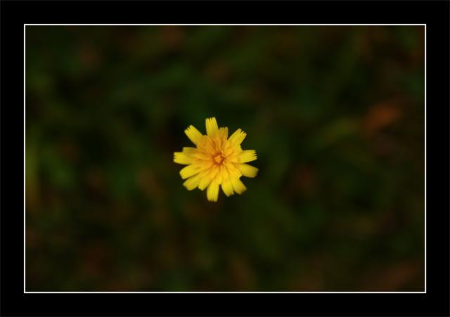 Flor-Amarilla-Castañuela-Avellana