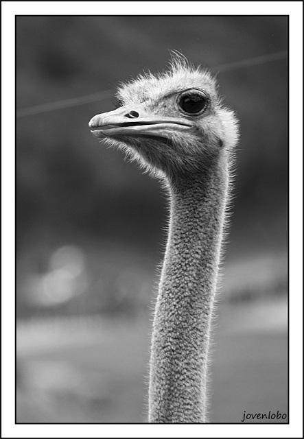 Retrato-Avestruz