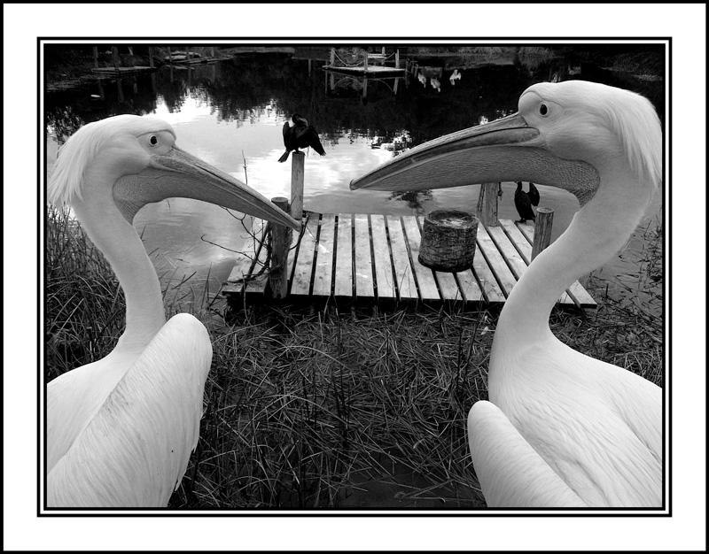 Pelicanos-B&W