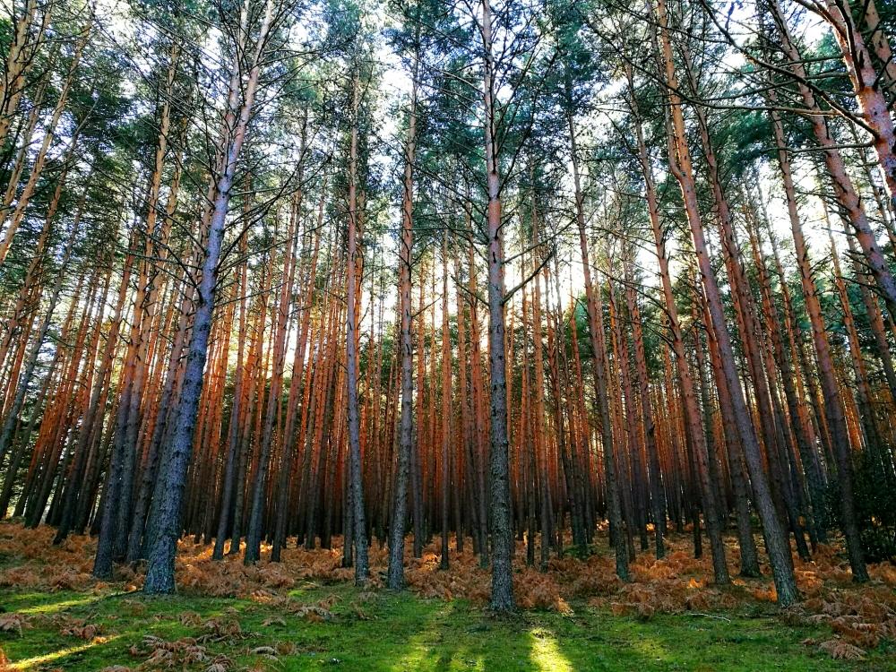 bosque-sierra-guadarrama
